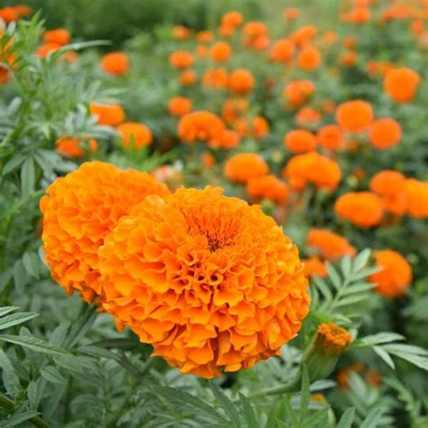 marigold garlands for sale marigold garland orange gardentrends