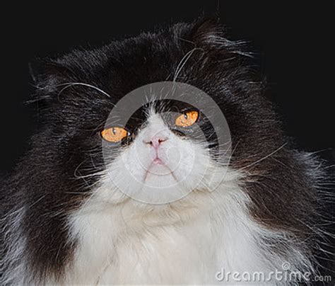 portrait de chat persan noir et blanc photo stock image 53134622