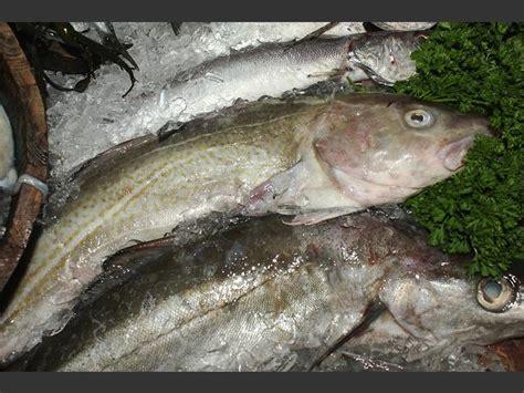 Gadus morhua - Cod (Seafish images)