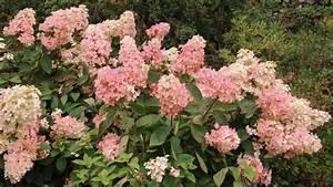 Hydrangea Paniculata Schneiden : rispenhortensie pflanzen pflegen schneiden und mehr ~ Lizthompson.info Haus und Dekorationen
