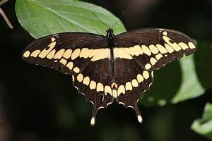 giant swallowtail Butterfly by bagera3005 on deviantART
