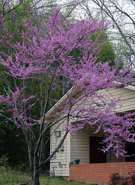 eastern bud top 28 redbud tree height buy the rising sun redbud tree for sale online from wilson