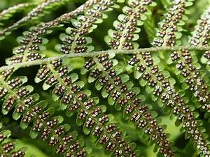 Ferns  Spores  And Plant Reproduction