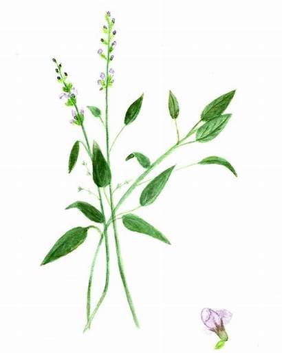 Sage Watercolor Herb Printable Printables Basil Fairy
