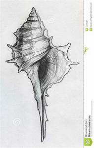 Drawn shell sketch - Pencil and in color drawn shell sketch