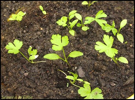 semer persil en pot le persil semer 224 la folie