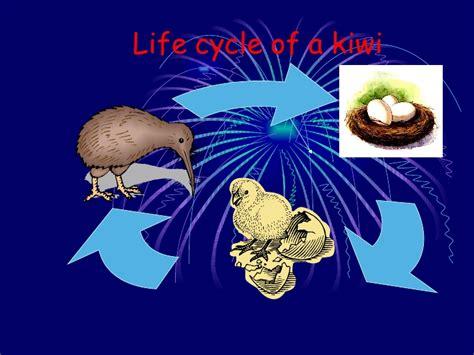 lifespan of a 3 j science chantal liew life cycle of a kiwi