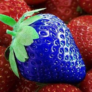 Blue Strawberry | www.pixshark.com - Images Galleries With ...