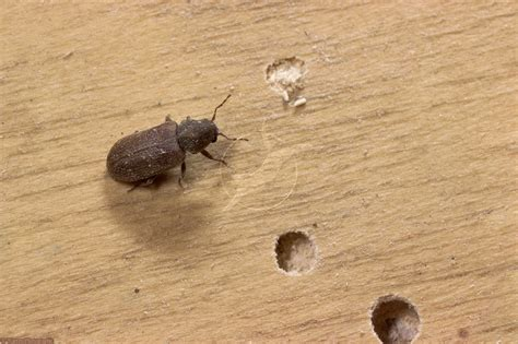 salt for fleas on hardwood floors carpet beetles how to kill and get rid of carpet beetles