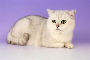 british shorthair - Animal Stock Photos - Kimballstock