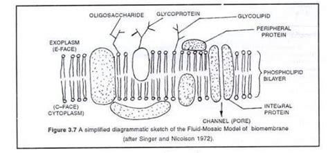 structure  plasma membrane hasanuls blog