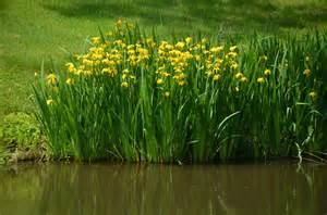 flower store 10 seeds yellow iris pseudacorus water iris flag