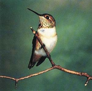 Biogeography of Allen's hummingbird