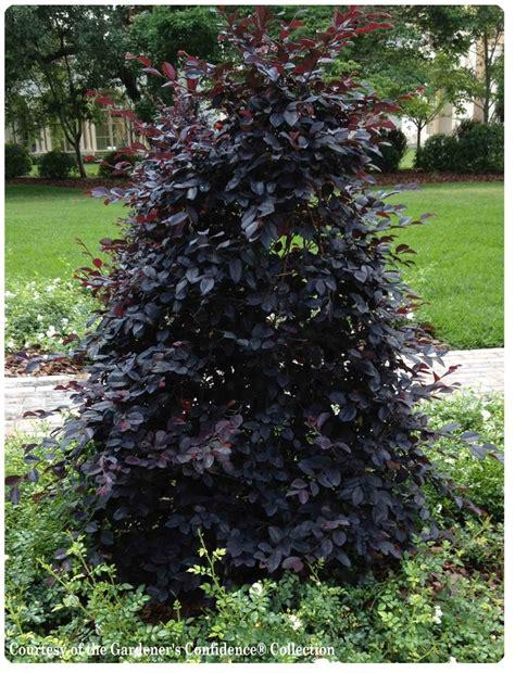 20 Best Images About Dark Foliage Plants On Pinterest