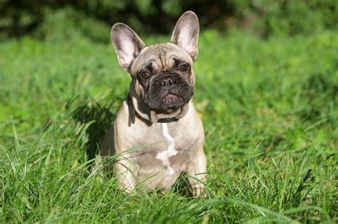 franzoesische bulldogge hunde infode