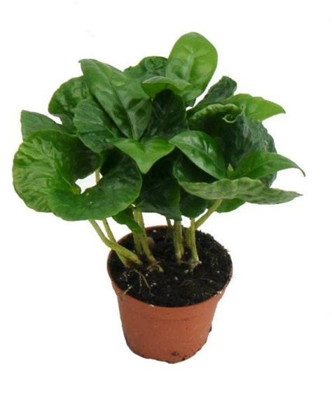 Other articles where coffea arabica is discussed: Coffee arabica House Plant in a 5cm pot. Grow your own ...
