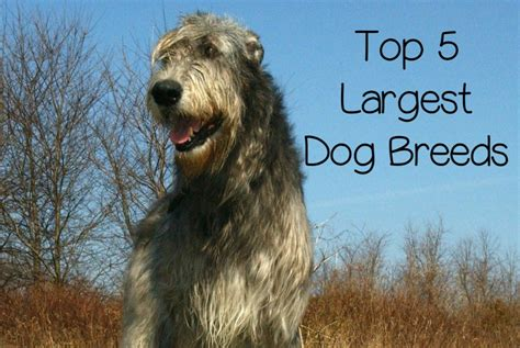 Top 5 Largest Dog Breeds - DogVills