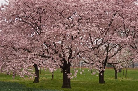 okame cherry tree pictures okame cherry blossom tree for sale online the tree center