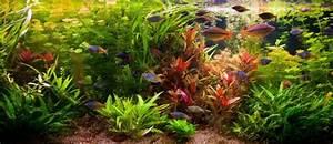 Aquarium Gestaltung Bilder : hintergrundpflanzen im aquarium ~ Lizthompson.info Haus und Dekorationen