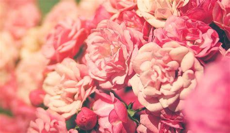 Rosa Blumen by Die 71 Besten Rosa Blumen Hintergrundbilder