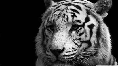 Tiger Standard