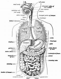 Diagram Of Digestive System
