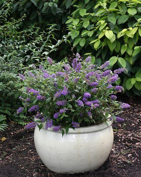 can i grow buddleia in a pot buddleia blue chip