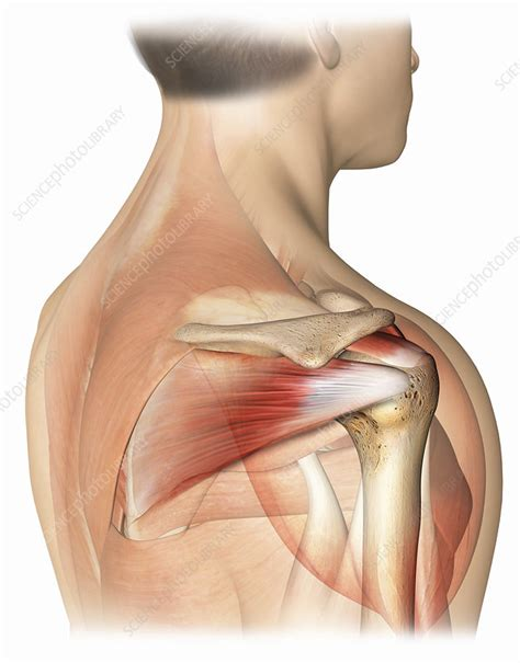 right shoulder rotator cuff anatomy - Stock Image - C022 ...