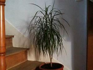 Arbuste D Intérieur : drac na dracaena ou dragonnier dracaena marginata ~ Premium-room.com Idées de Décoration