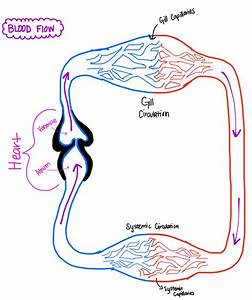 Circulatory Systems In Fish  Amphibians And Mammals