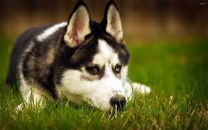 Husky Siberian Huskies Wallpapers Animals Animal Dog