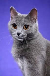 chartreux cat chartreux cat pictures and info cats breeds