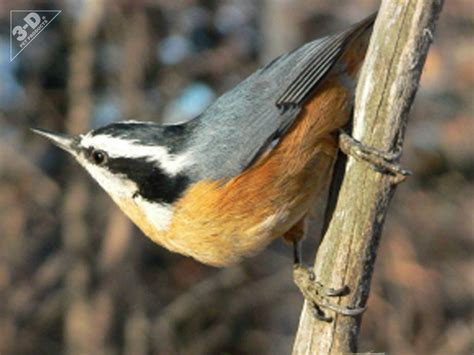 platform bird feeder breasted nuthatch 3d pet products3d pet products