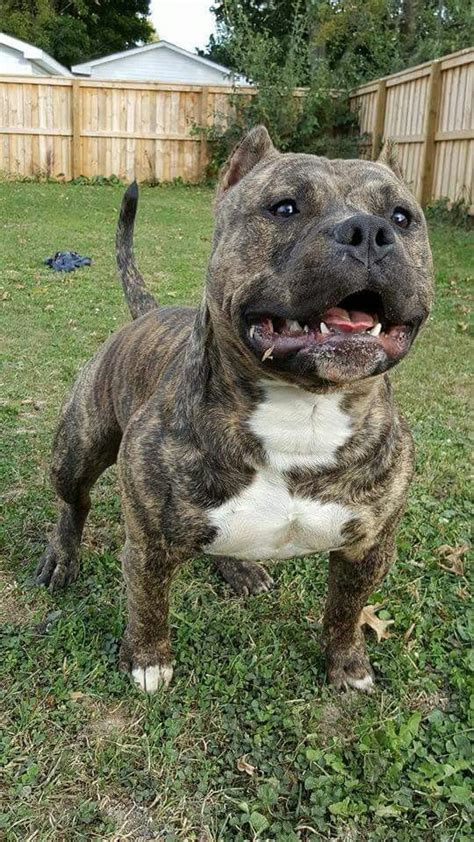 brindle bully breeds dogs cute dogs breeds pitbull dog