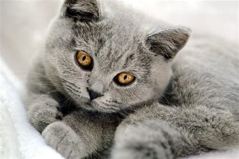Pelēks kaķis nav vienkāršs murrātājs: tas dāvā saimniekam ...