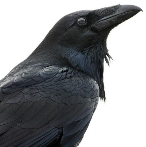 raven symbols  literature birds
