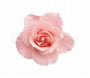 Beautiful pink rose isolated on white background | Stock ...