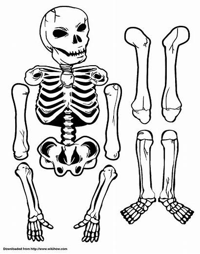 Skeleton Paper Printable Human Wikihow Science Crafts