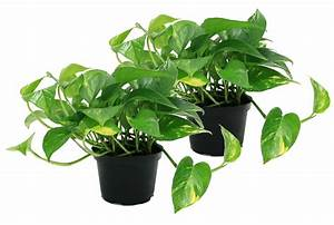 Costa, Farms, Live, Indoor, 10in, Tall, Green, Pothos, Indirect, Sunlight, Plant, In, 6in, Pot, 2