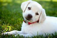 White Dog Puppies