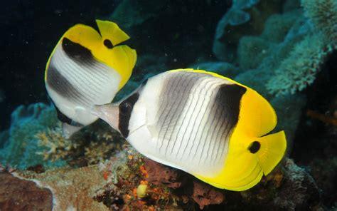 butterfly fish chaetodon falcula vallpaper hd  dekstop