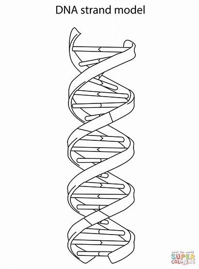 Dna Coloring Strand Pages Drawing Worksheet Rna