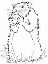 Groundhog Coloring Pages Drawing Ground Groundhogs Woodchuck Hog Gopher Realistic Apple Printable Eats Squirrel Sheets Arctic Standing Pooh Winnie Getdrawings sketch template