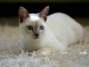 Lilac Point Siamese Kitten Wallpaper - Free Kitten Download