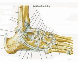 Ligaments And Tendons Of Ankle  Right Foot Lateral