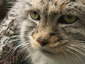 cat from and pallas cat by originalspacecowgirl on deviantart