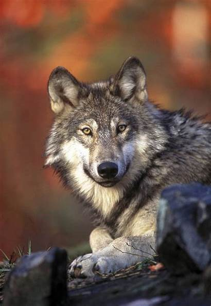 Wolf Gray Grey Lupus Wolves Howling Canis