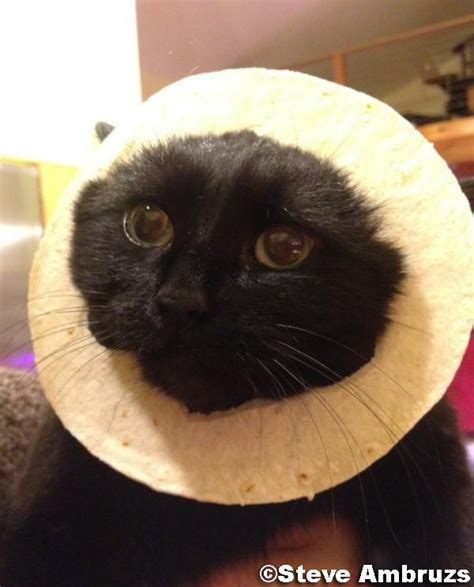 Cat Breading Meme - 10 best images about cat breading on pinterest cats too funny and kitty