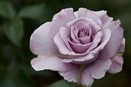 Light Purple Roses