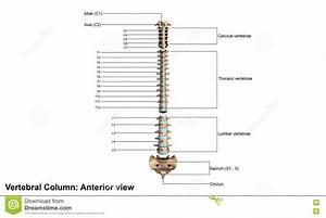 Human Vertebral Column Diagram